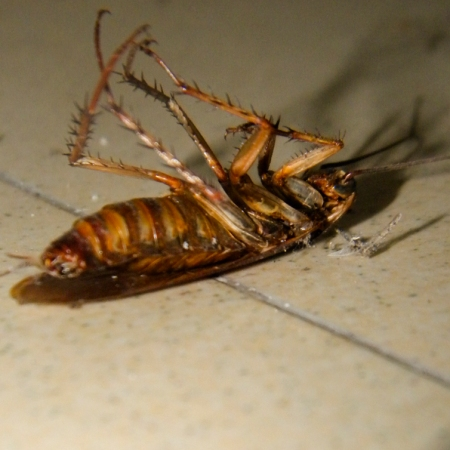 Living abroad does strange things to people, like enjoying the plight of a cockroach flipped on its backside. (Catherine Brist/Indonesiaful)