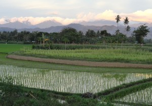 Local Gorontalo scenery includes sawah, corn fields, palm trees, and mountains. (Kelsie Miller/Indonesiaful)