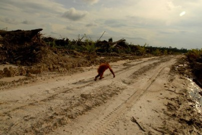 The aftereffects of palm oil plantations. Photo Credit: Centre for Orangutan Protection