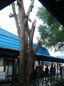 The tree whose trimmed branches were said to be response for the student possessions